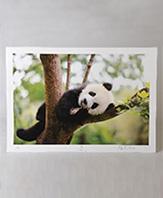 Panda Photograph